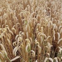 Weizenmehl (Bio)